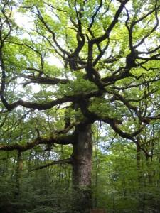 le chêne des Hindrés dans la foret de Paimpont (alias Brocéliande en Bretagne, france), il est agé de 500 ans environs.