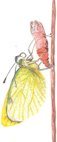 papillon-et-cocon
